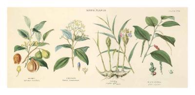 Spice Plants I-William Rhind-Art Print