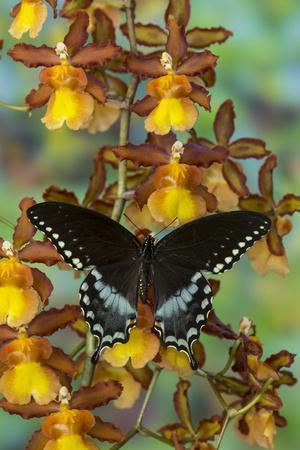 https://imgc.artprintimages.com/img/print/spicebush-swallowtail-butterfly_u-l-q12t2cd0.jpg?p=0
