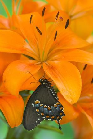 Spicebush Swallowtail Butterfly-Darrell Gulin-Photographic Print