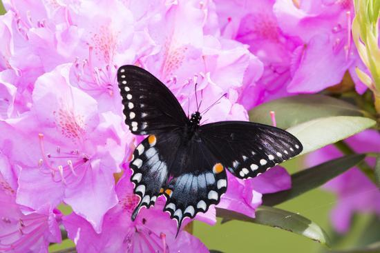 Spicebush Swallowtail Butterfly--Photographic Print