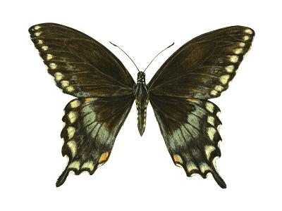 Spicebush Swallowtail (Papilio Troilus), Insects-Encyclopaedia Britannica-Art Print