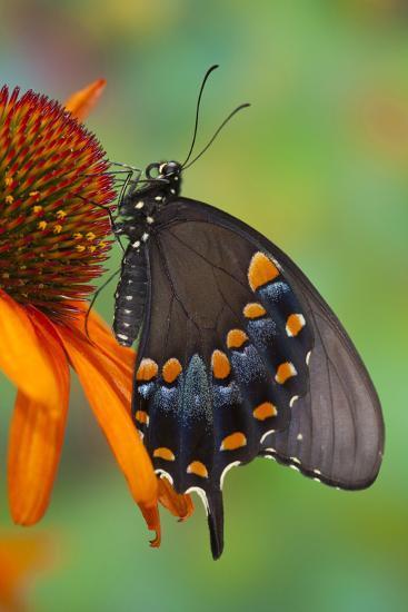 Spicebush Swallowtail-Darrell Gulin-Photographic Print