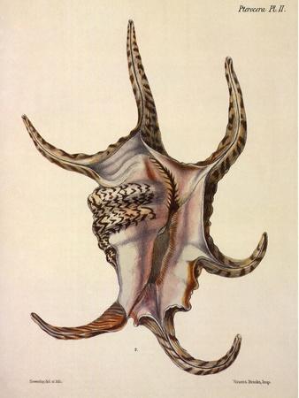 https://imgc.artprintimages.com/img/print/spider-conch-shell_u-l-q1bvox90.jpg?p=0