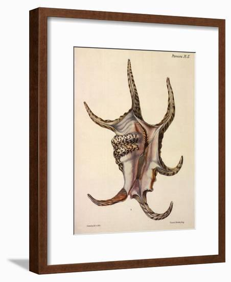 Spider Conch Shell-G^b^ Sowerby-Framed Giclee Print