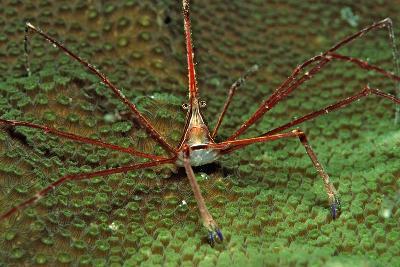 Spider Crab, Stenorhynchus Seticornus, British Virgin Islands, Bvi, Caribbean Sea, Leeward Islands-Reinhard Dirscherl-Photographic Print