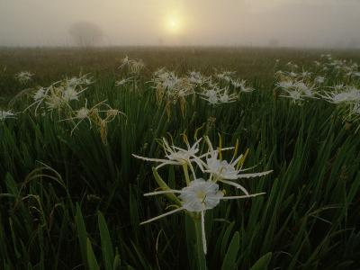 Spider Lilies Thriving on a Tallgrass Coastal Prairie-Raymond Gehman-Photographic Print