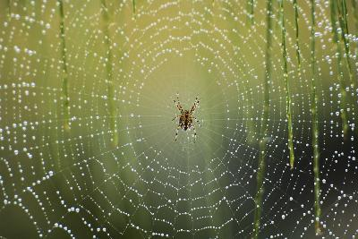 Spider on Wet Web-Peter Skinner-Photographic Print
