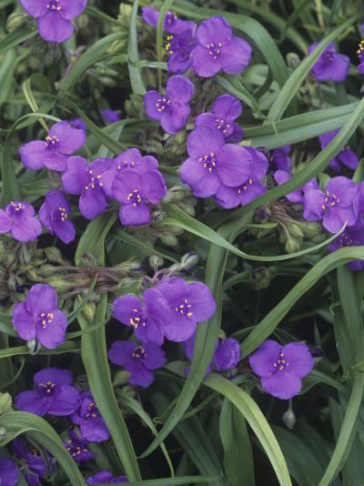 Spiderwort (Tradescantia Virginiana), North America-Wally Eberhart-Photographic Print