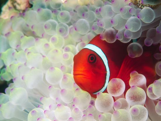 Spinecheek Anemonefish, Bulb-tipped Anemone, Great Barrier Reef, Papau New Guinea-Stuart Westmoreland-Photographic Print