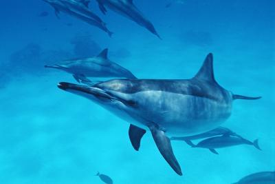 Spinner Dolphins-Alexis Rosenfeld-Photographic Print