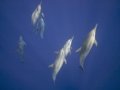 Spinner Dolphins-DLILLC-Photographic Print