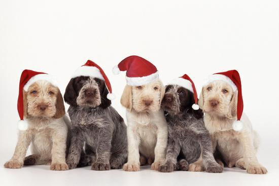Spinone Dog Puppies Wearing Christmas Hats--Photographic Print