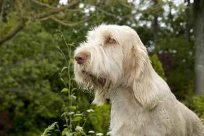 Spinone Sitting in Garden (Head Shot)--Photographic Print