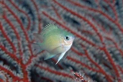 Spiny Chromis (Acanthochromis Polycanthus)-Reinhard Dirscherl-Photographic Print