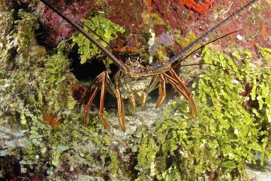 Spiny Lobster Hiding in the Reef, Nassau, the Bahamas-Stocktrek Images-Photographic Print