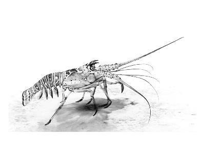 Spiny Lobster-Jane Kim-Premium Giclee Print