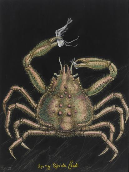 Spiny Spider Crab-Philip Henry Gosse-Giclee Print