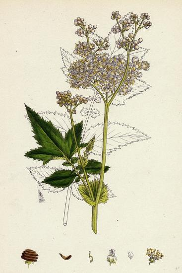 Spiraea Ulmaria Meadow-Sweet--Giclee Print