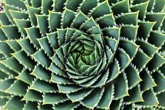 Spiral Aloe-Aloe Polyphylla- Gil K-Photographic Print