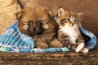 Spitz Puppy And Kitten Breeds Maine Coon, Cat And Dog-Lilun-Photographic Print