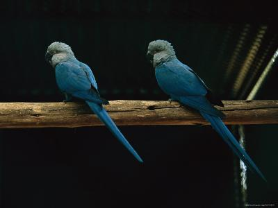 Spixs Macaws Perch on a Branch at Sao Paulo Zoo-Joel Sartore-Photographic Print