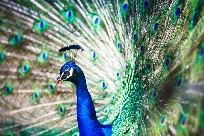 Splendid Peacock with Feathers Out (Pavo Cristatus)-l i g h t p o e t-Photographic Print