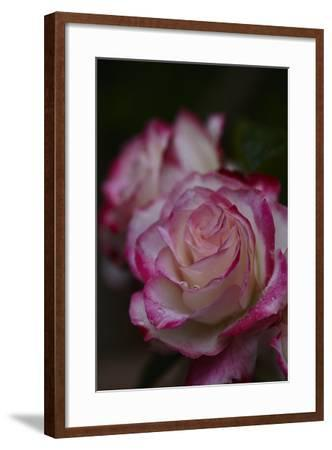 Splendid Roses-Dietmar Najak-Framed Photographic Print