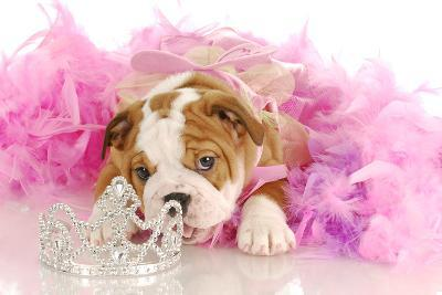 Spoiled Dog - English Bulldog Puppy Chewing On Tiara Surrounded By Pink Feathers-Willee Cole-Photographic Print