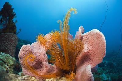 Sponge and Crinoid on a Coral Reef-Reinhard Dirscherl-Photographic Print