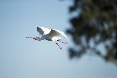 Spoonbill in Flight, Moremi Game Reserve, Botswana-Paul Souders-Photographic Print
