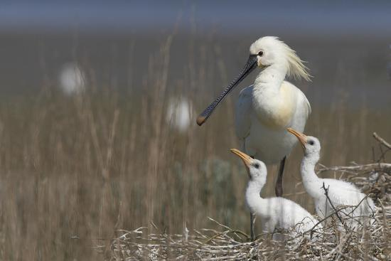 Spoonbill (Platalea Leucorodia) at Nest with Two Chicks, Texel, Netherlands, May 2009- Peltomäki-Photographic Print