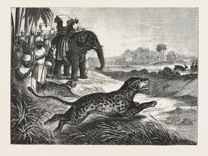 Sport in India, Hunting Antelopes with the Cheetah, 1876. Antelope, Animal, Big Cat, Wild Cat