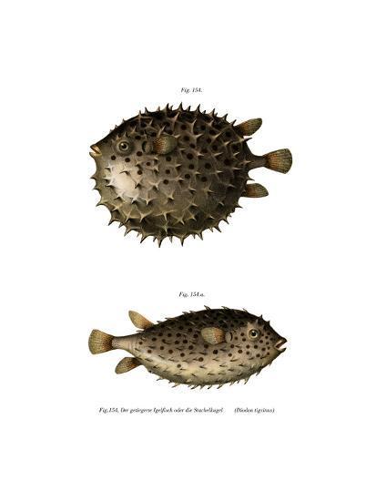 Spotfin Burrfish--Giclee Print