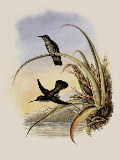Spotted-Breasted Hummingbird, Aphantochroa Hyposticta-John Gould-Giclee Print