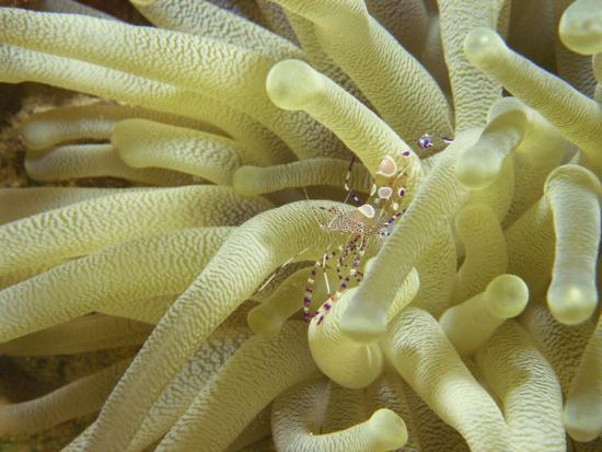 Spotted Cleaner Shrimp in Giant Anemone, Bonaire, Carribean Sea, Central America-Murray Louise-Photographic Print