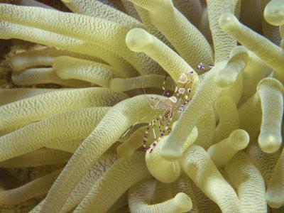 https://imgc.artprintimages.com/img/print/spotted-cleaner-shrimp-in-giant-anemone-bonaire-carribean-sea-central-america_u-l-p7t3u40.jpg?p=0