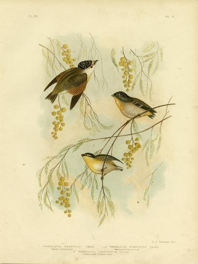 Spotted Diamondbird or Spotted Pardalote, 1891-Gracius Broinowski-Giclee Print