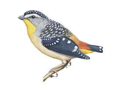Spotted Diamondbird (Pardalotus Punctatus), Birds-Encyclopaedia Britannica-Art Print