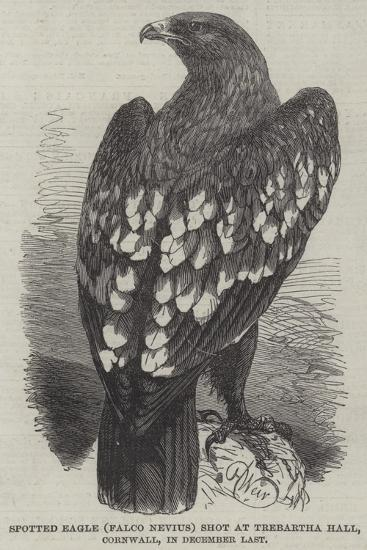 Spotted Eagle (Falco Nevius) Shot at Trebartha Hall, Cornwall, in December Last-Harrison William Weir-Giclee Print