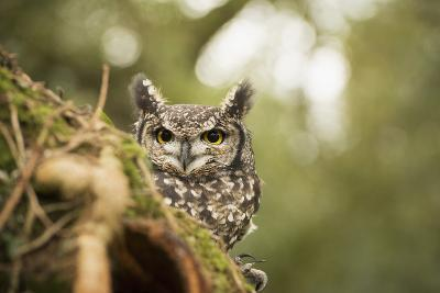 Spotted Eagle Owl (Bubo Africanus), Herefordshire, England, United Kingdom-Janette Hill-Photographic Print
