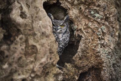https://imgc.artprintimages.com/img/print/spotted-eagle-owl-bubo-africanus-herefordshire-england-united-kingdom_u-l-pwfu4s0.jpg?p=0