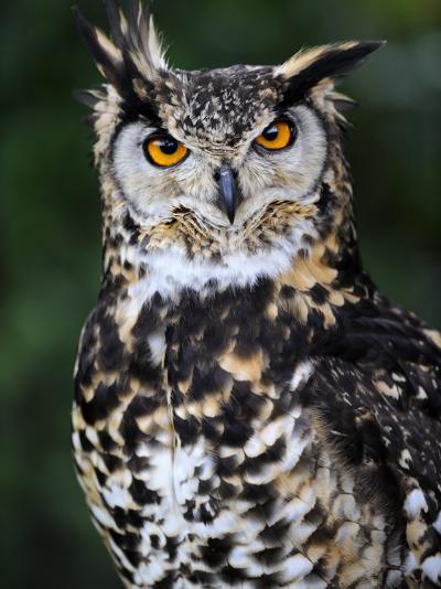 Spotted Eagle-Owl Captive, France-Eric Baccega-Photographic Print