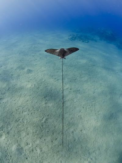 Spotted Eagle Ray (Aetobatis Narinari) Juvenile over Sandy Ocean Floor, from Above, Naama Bay-Mark Doherty-Photographic Print