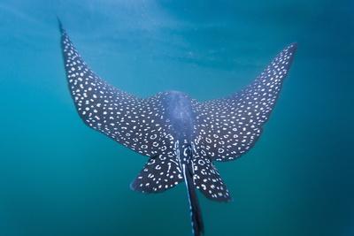 https://imgc.artprintimages.com/img/print/spotted-eagle-ray-aetobatus-narinari-underwater-leon-dormido-is-san-cristobal-island-ecuador_u-l-piapuv0.jpg?p=0