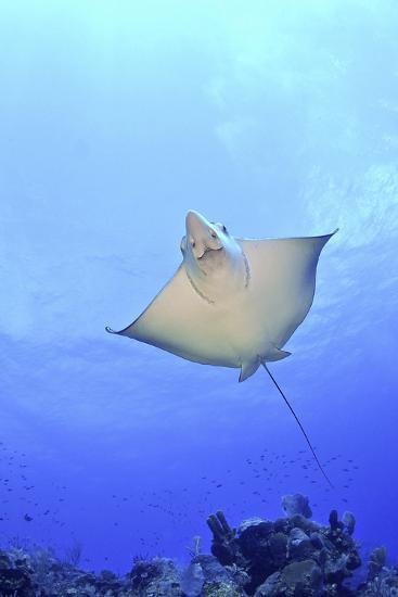 Spotted Eagle Ray Glides over the Wall, Eagle Ray Pass, Grand Cayman-Stocktrek Images-Photographic Print