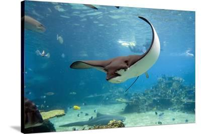 Spotted Eagle-rays - Aetobatus--Stretched Canvas Print