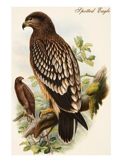 Spotted Eagle-John Gould-Art Print
