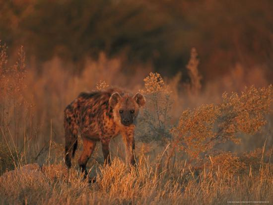 Spotted Hyena, Adult in Dawn Light, Southern Africa-Mark Hamblin-Photographic Print