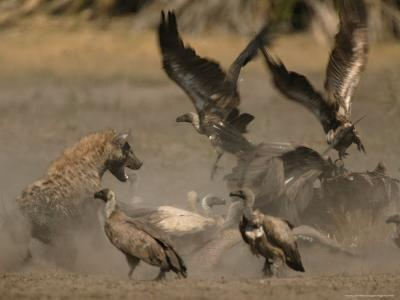 Spotted Hyena and White-Backed Vultures Duel over a Carcass-Beverly Joubert-Photographic Print