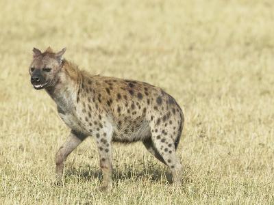 Spotted Hyena (Crocuta Crocuta) Masai Mara Game Reserve-Joe McDonald-Photographic Print